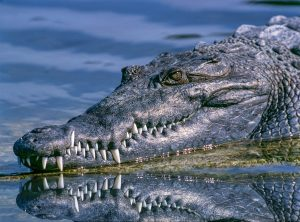 A close up photo of an alligator swimming in water; if you're moving your family to Orlando, you'll need to protect your back yard!