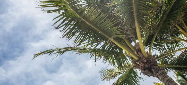 A palm in Florida, seen after hiring the best local movers Hialeah has.