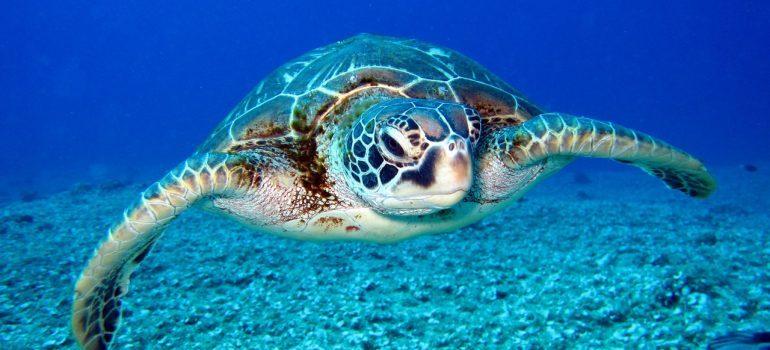 Turte in sea